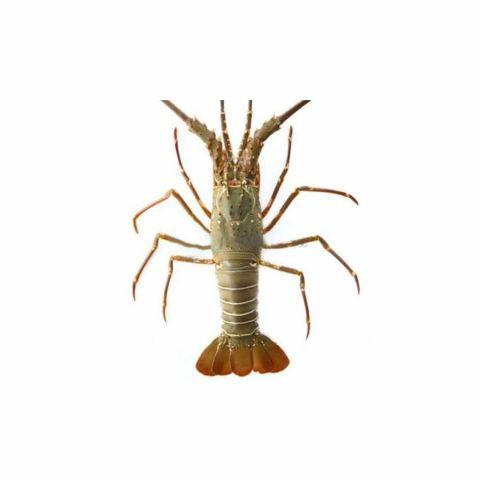 Green Lobster, 1 KG (Gross Weight)
