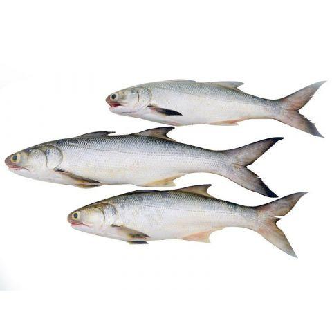 Rawas (Indian Salmon), 1 KG (Gross Weight)