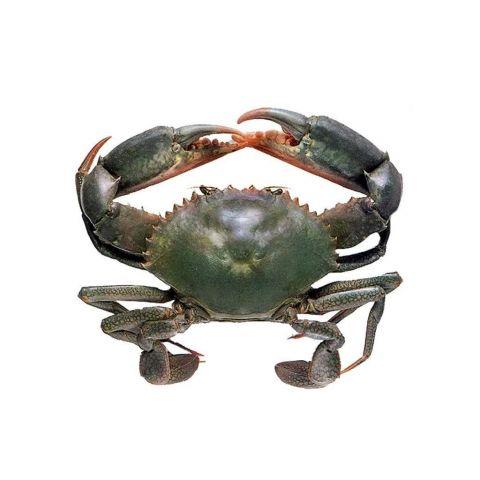 Mud Crab, 1 KG (Gross Weight)